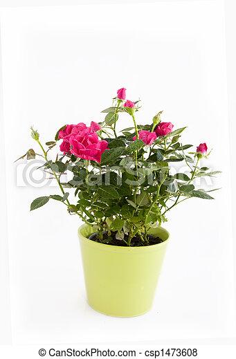 rosas cor-de-rosa - csp1473608