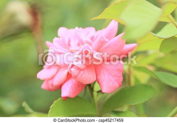 rosas rosa - csp45217459