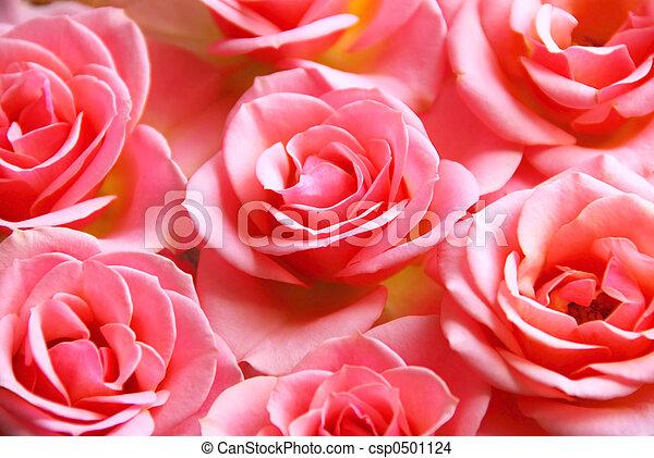 rosas rosa - csp0501124