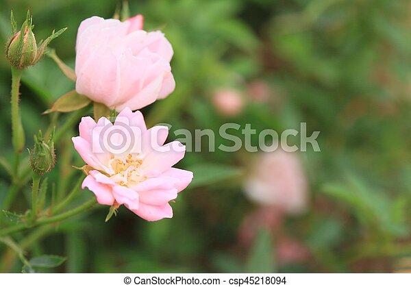 Rosas rosas - csp45218094