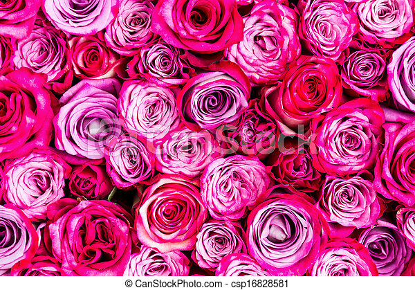 rosas rosa, plano de fondo - csp16828581