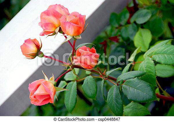 rosas rosa - csp0448847