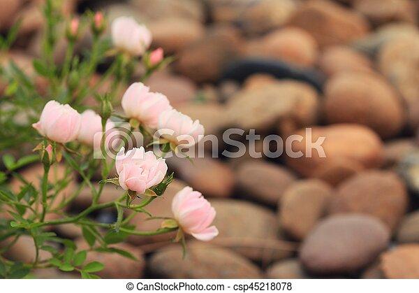 rosas rosa - csp45218078