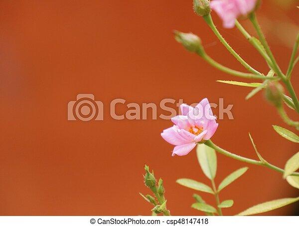 Rosas rosas - csp48147418