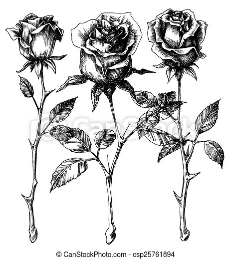 rosas, solo, conjunto, dibujo - csp25761894