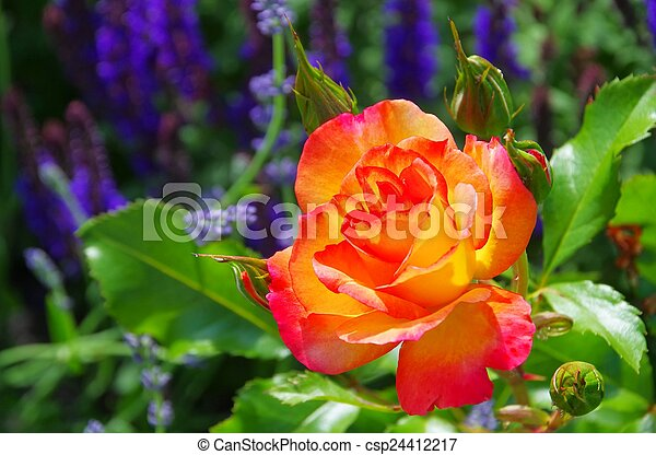 Rose Bonanza  - csp24412217