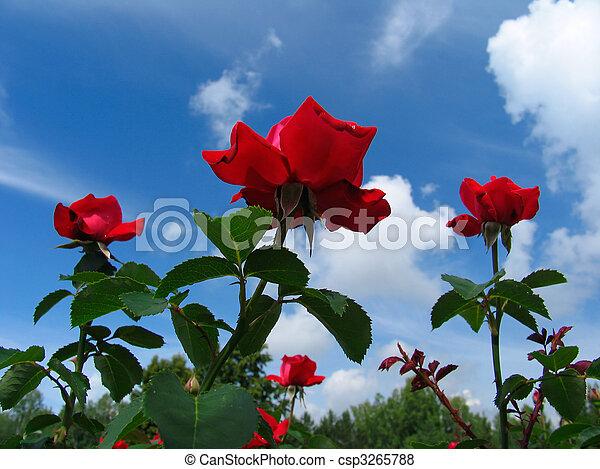 Rose-bush on blue sky background - csp3265788