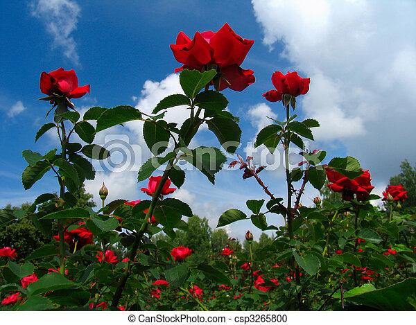 Rose-bush on blue sky background - csp3265800