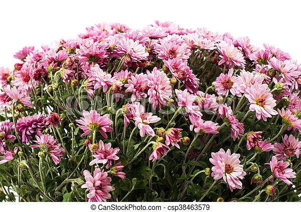 rose, chrysanthèmes, buisson - csp38463579