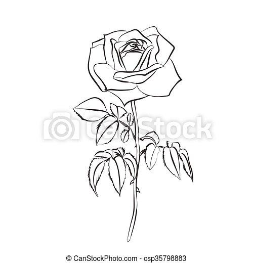 Rose Croquis Blanc Arriere Plan Illustration Rose Contour