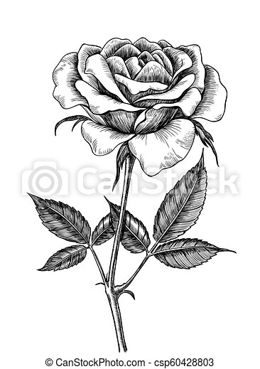 Rose Dessin Rose Isole Main Arriere Plan Dessine Blanc