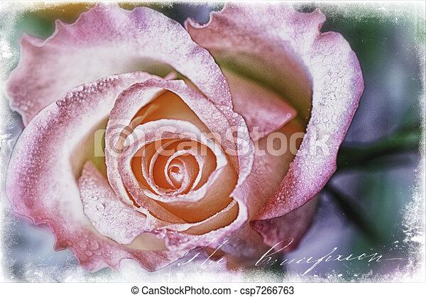 Rose - csp7266763