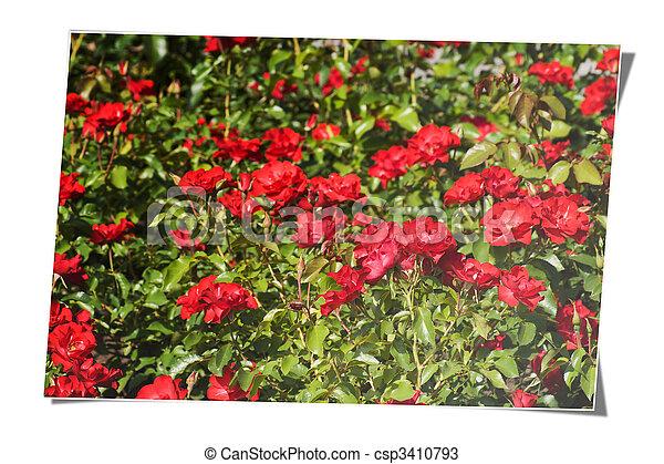 rose field card - csp3410793