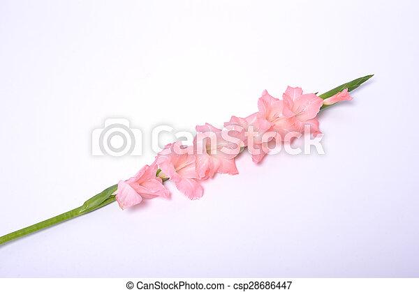 rose, fleurs blanches, isolé - csp28686447