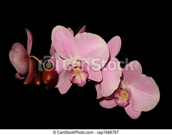 rose, floral, noir, orchidées - csp1566787