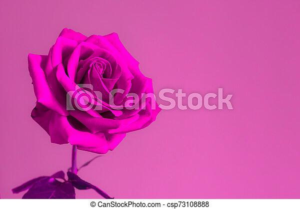 Rose flower on bright background. - csp73108888