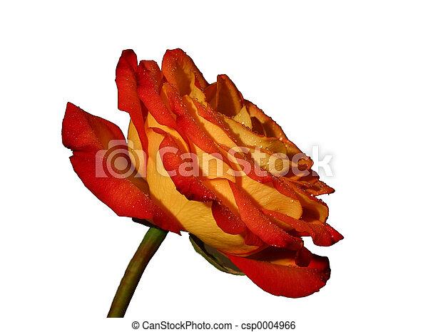 Rose II - csp0004966