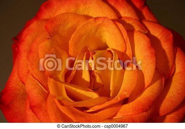 Rose III - csp0004967