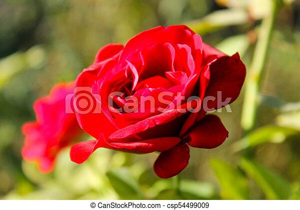 Rose in garden - csp54499009