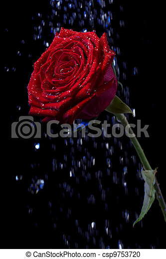 Rose In The Dew Drops On Black Picture Of A Rose In The Dew Drops On A Black Background