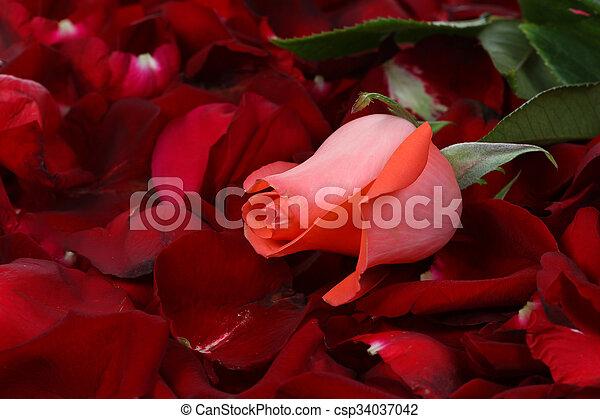 Rose, isolated on white background - csp34037042