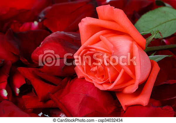Rose, isolated on white background - csp34032434