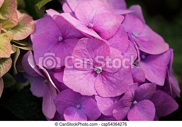 Rose, jardin, pourpre, hortensia, floraison, hortensia, (hortensia ...