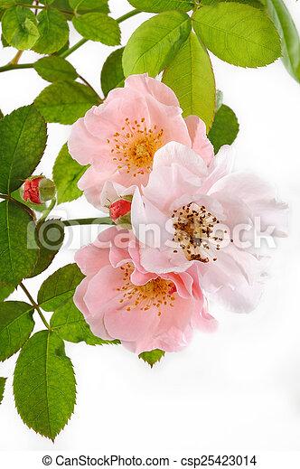 rose kwam op - csp25423014