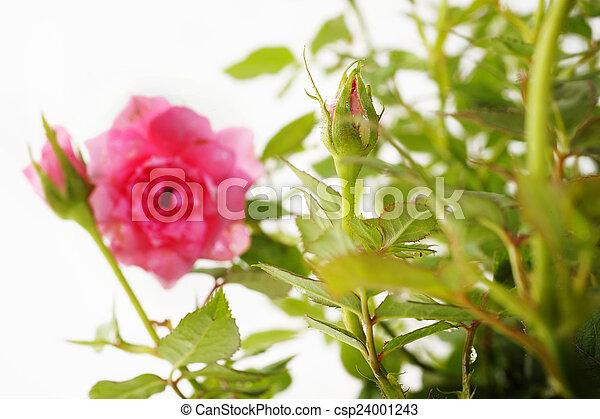 rose kwam op - csp24001243