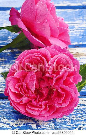 rose kwam op, waterdrops - csp25304044