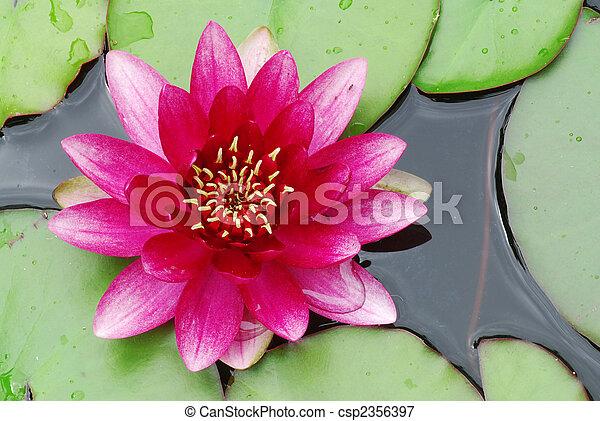 rose, nénuphar - csp2356397