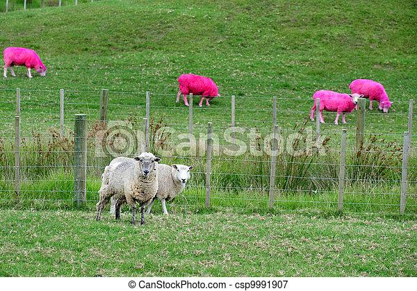 rose, nouvelle zélande, mouton - csp9991907