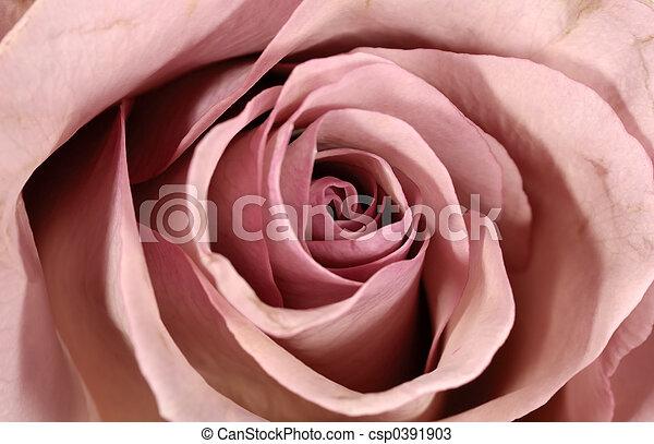 Rose Petals - csp0391903