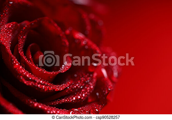 rose red flower with dew drops, macro shot - csp90528257