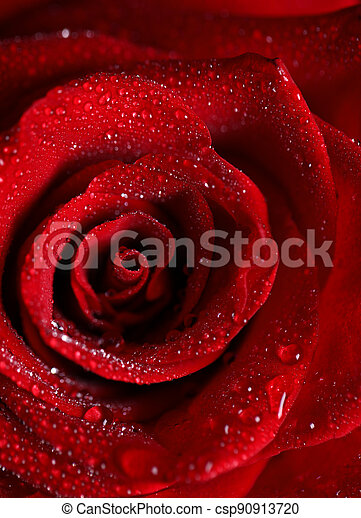 rose red flower with dew drops, macro shot - csp90913720