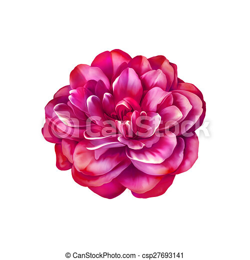 Rose Rose Clair Fleur Camelia Fleur Rose Rose Camelia Isole