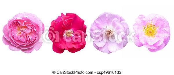 rose rose, isolé, arrière-plan., fleurs blanches - csp49616133