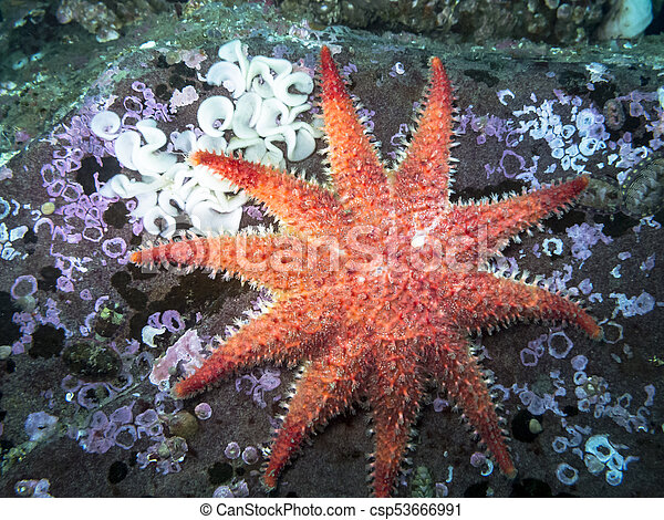 Rose Star (Crossaster papposus) - csp53666991