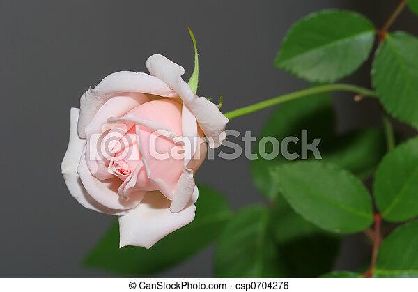 Rose - csp0704276