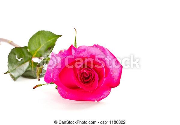Rose - csp11186322