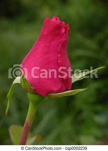 Rose - csp0002239