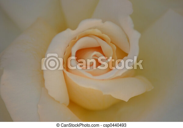 Rose - csp0440493