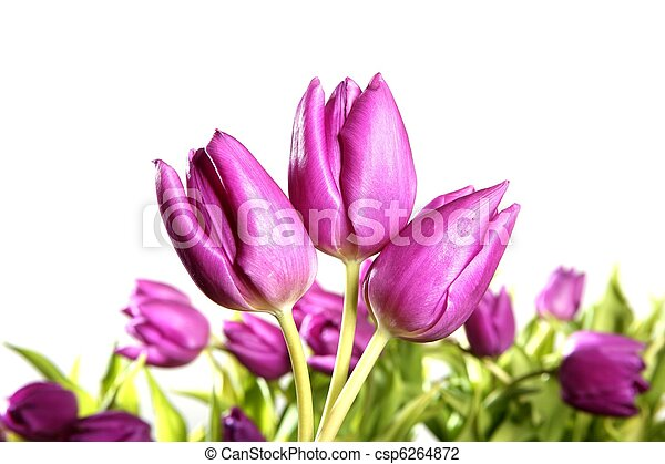 rose, tulipes, isolé, fond, fleurs blanches - csp6264872