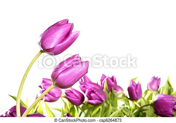 rose, tulipes, isolé, fond, fleurs blanches - csp6264873