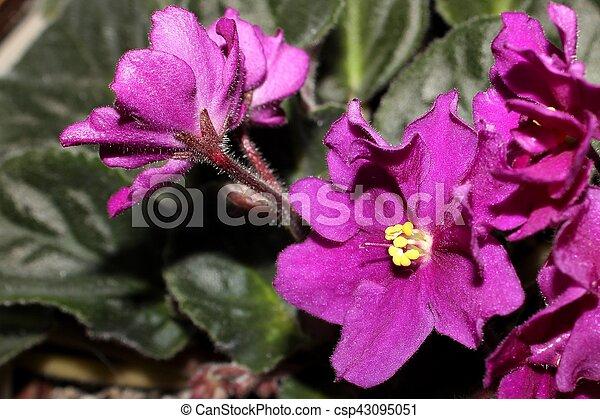 Rose violet - csp43095051