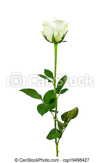 Rose, weiße blume, hintergrund. Ausschnitt, blume, rose ...