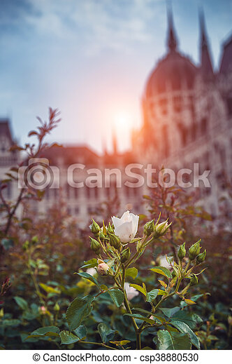 rosebuds in front of Parliament Budapest, light setting sun - csp38880530