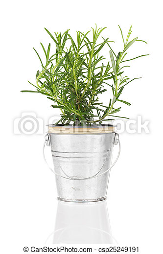 rosemary herb plant growing in a distressed pewter pot, isolated - csp25249191