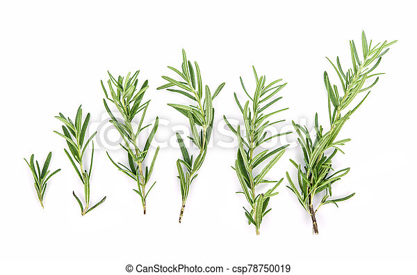 Rosemary isolated on white background, Top view - csp78750019