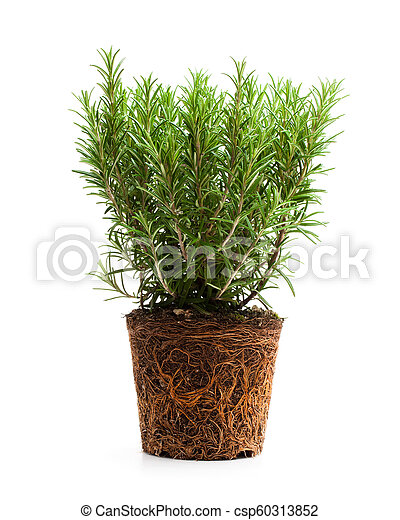 rosemary plant with roots isolated on white background - csp60313852